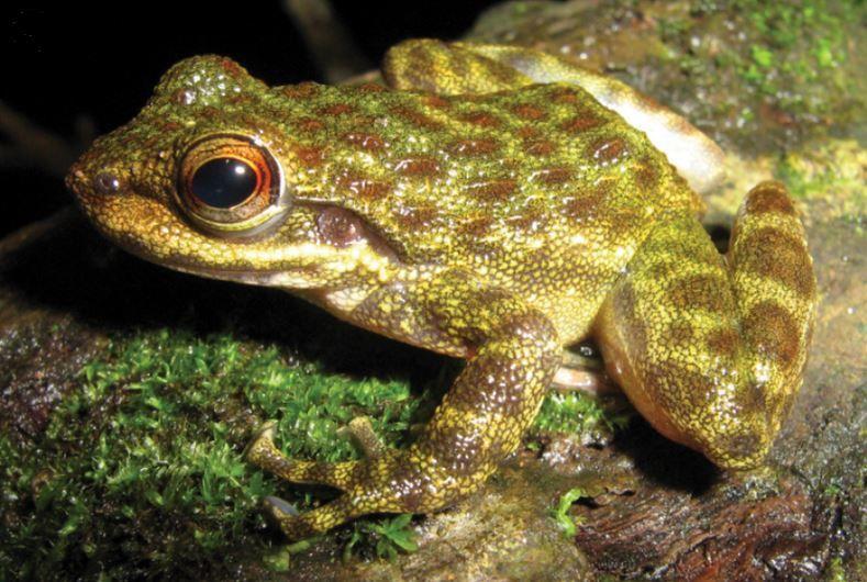 west-africa-frog