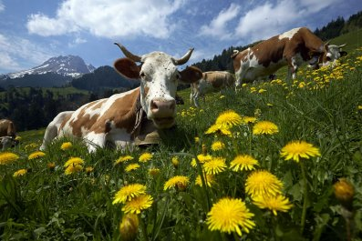 Switzerland takes French water for cows