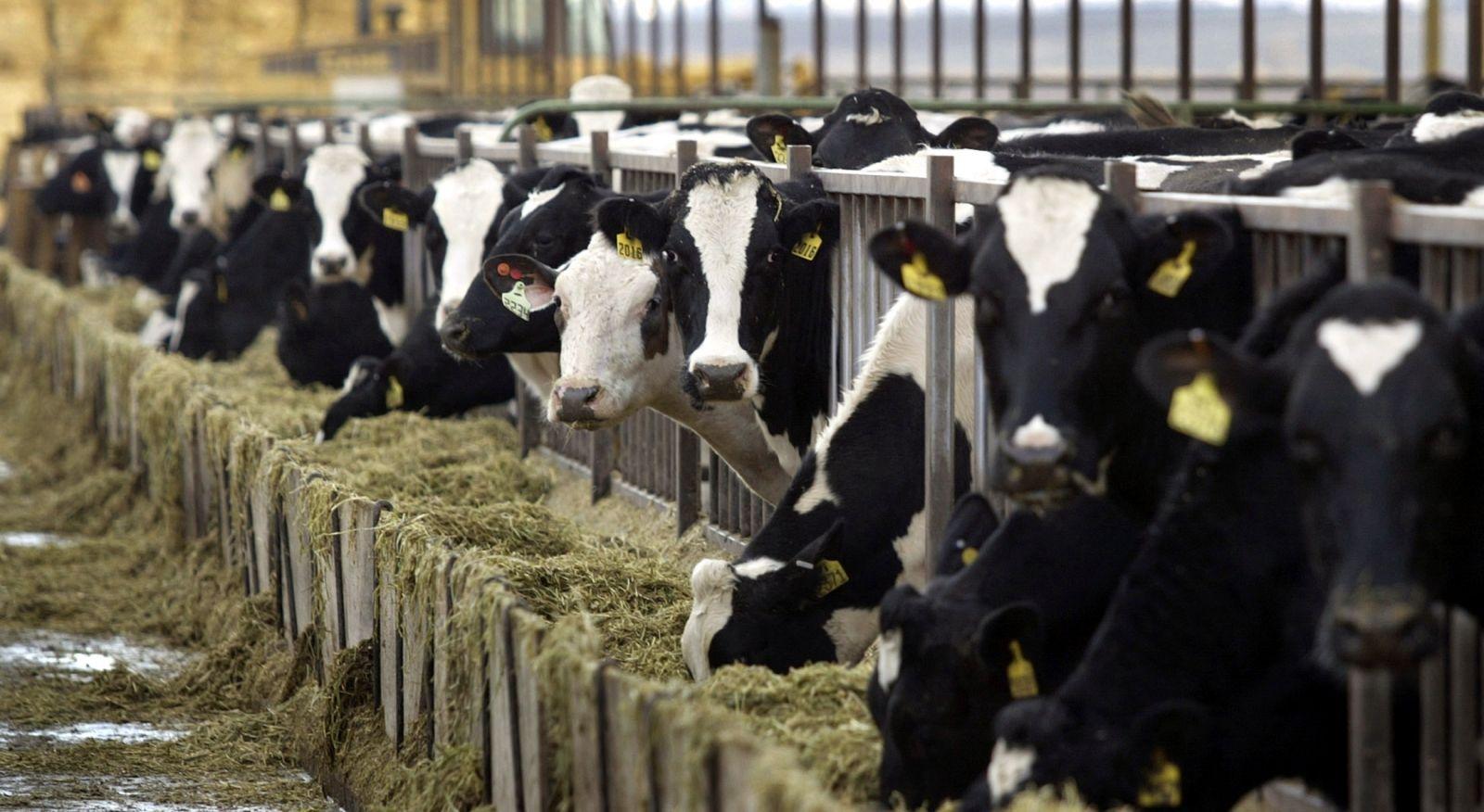 holstein-dairy-cows