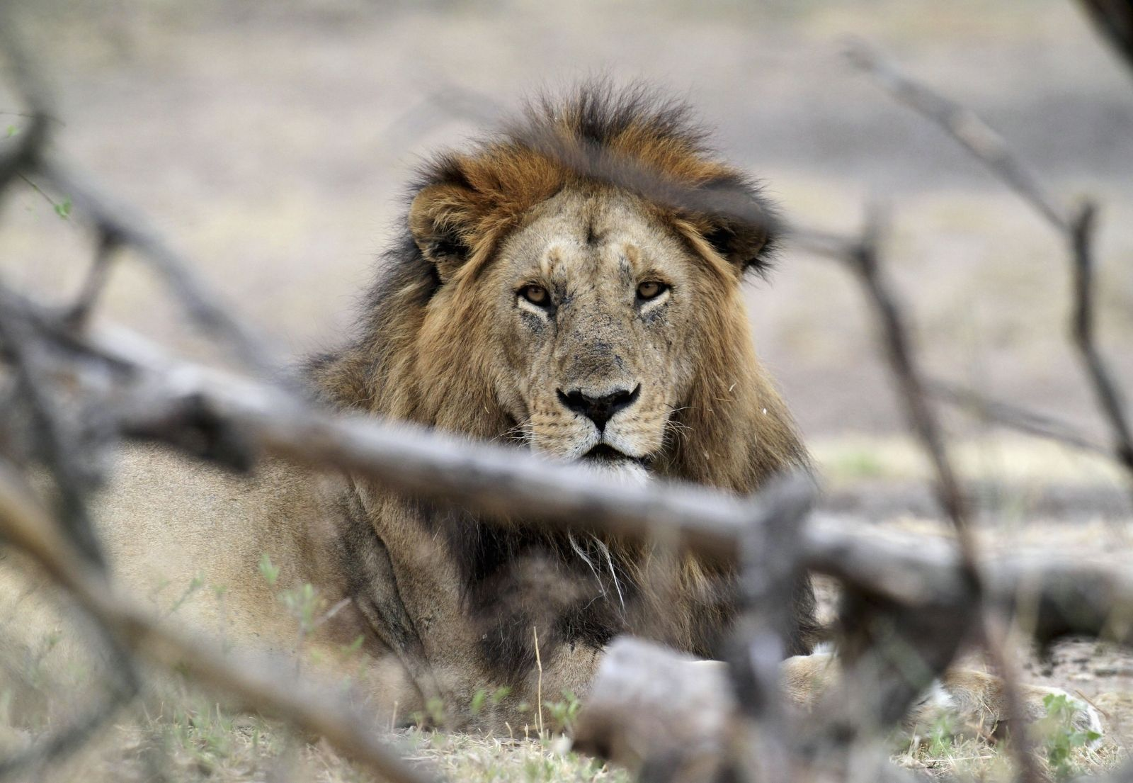 Lion Trophy Hunting