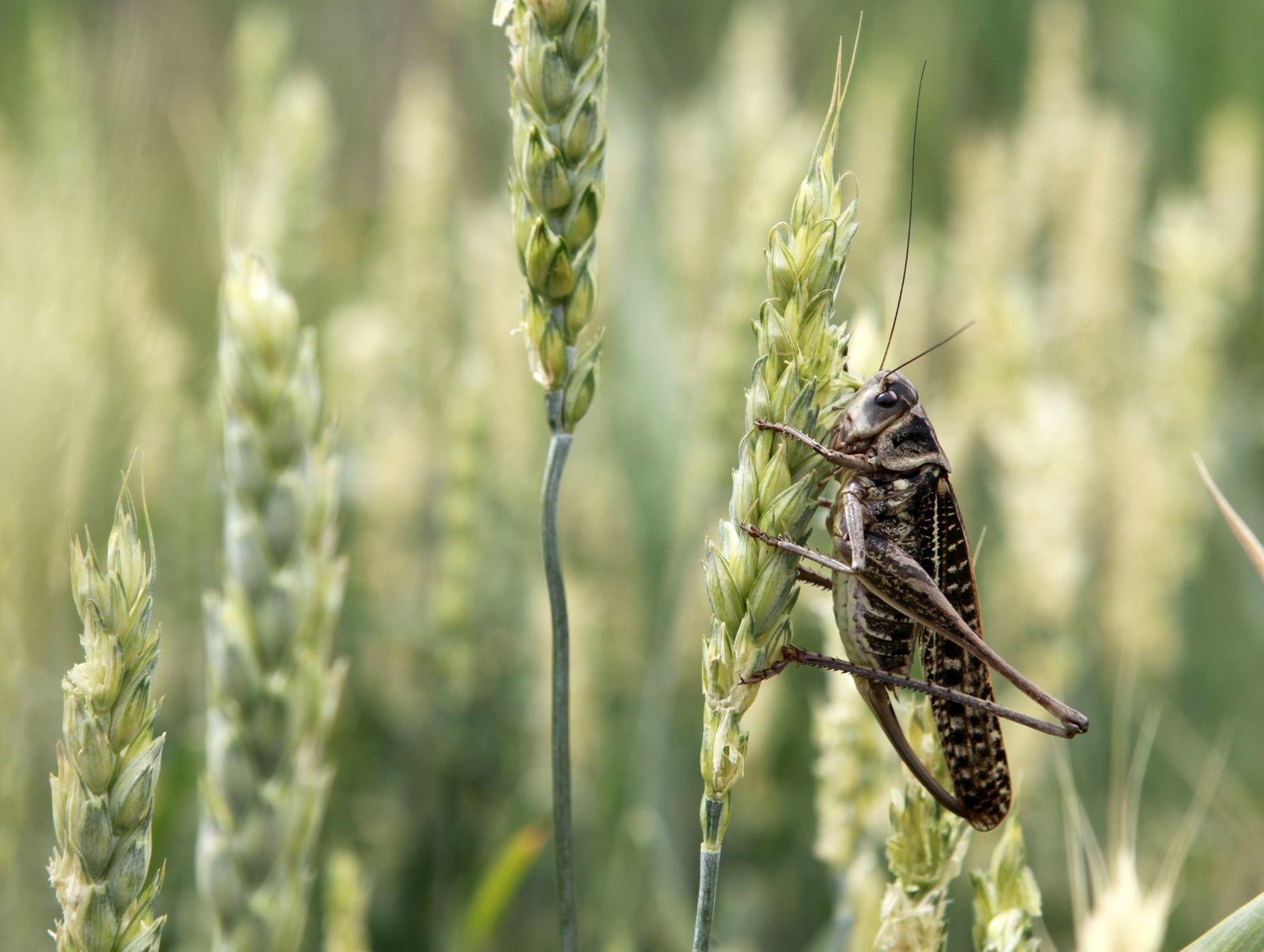 Locust destroy russian fields