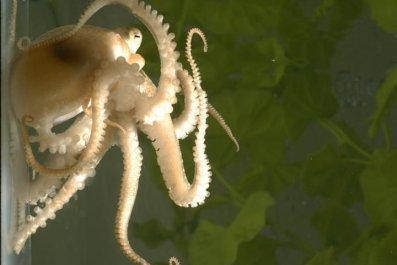 two-spot-octopus