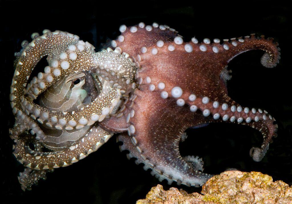 more-mating-june29-octopus