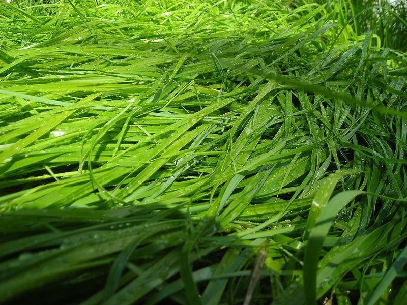 08_17_Sweet_Grass