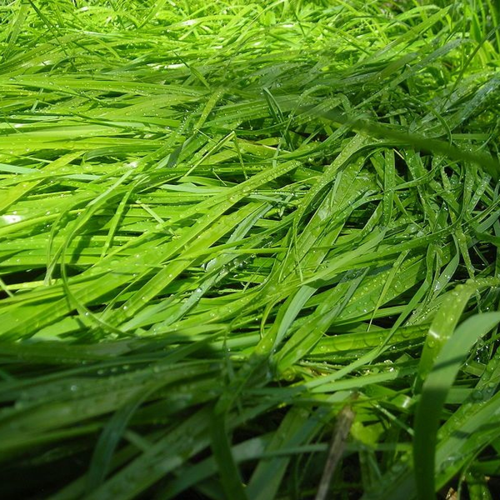 Grass Extract Repels Mosquitoes As Well As Synthetic Deet