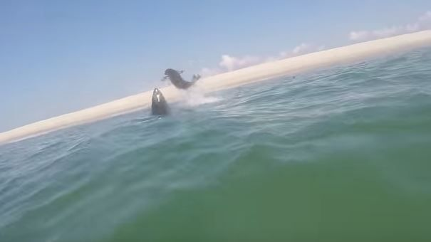 great-white-shark-seal