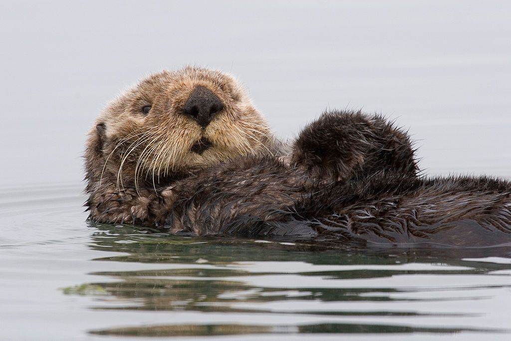 1024px-Sea-otter-morro-bay_13