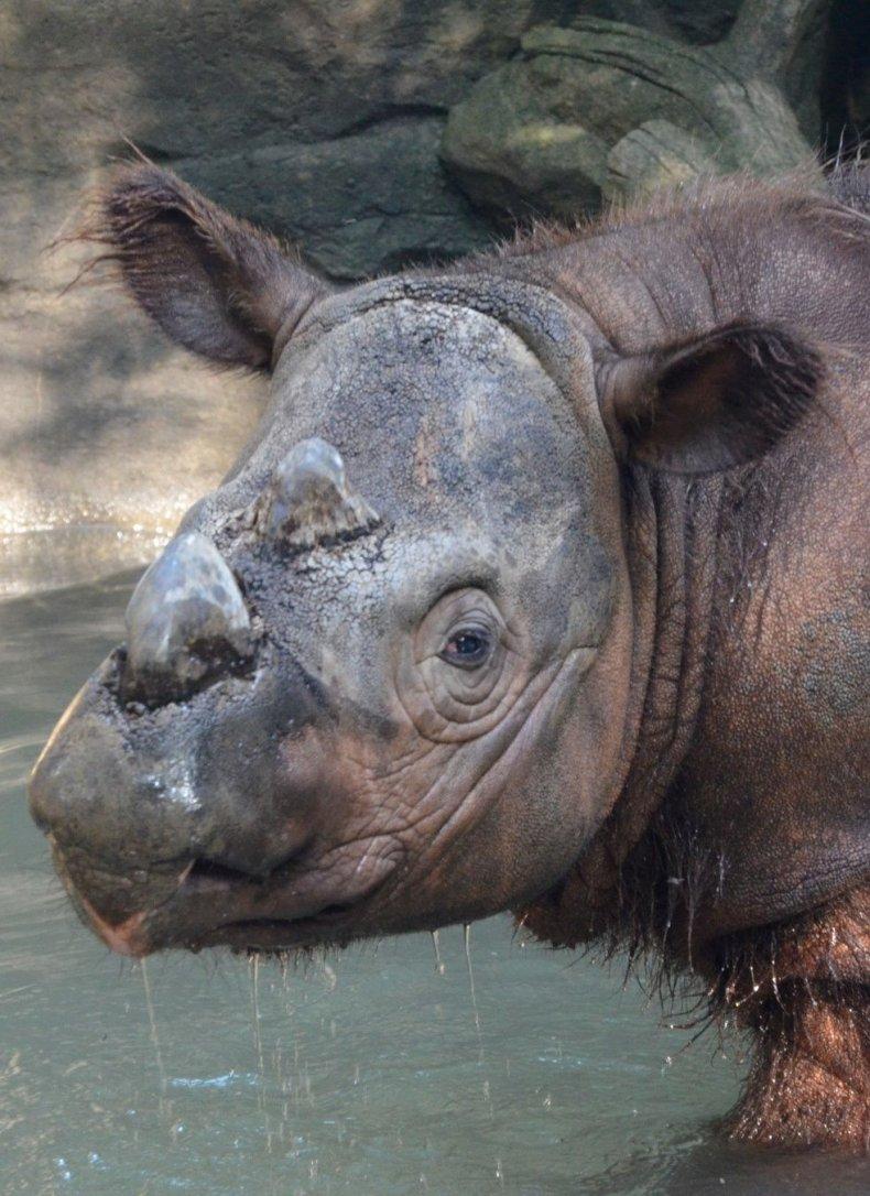 0821_Sumatran Rhino 2