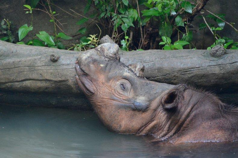 0821_Sumatran Rhino 3