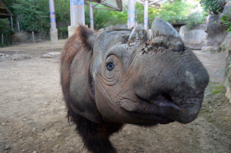 0821_Sumatran Rhino 5