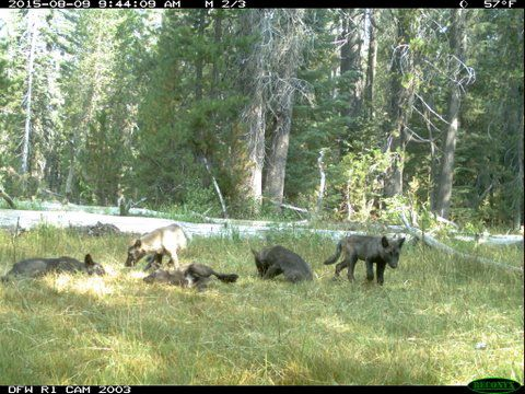 0821_Gray Wolf Puppies
