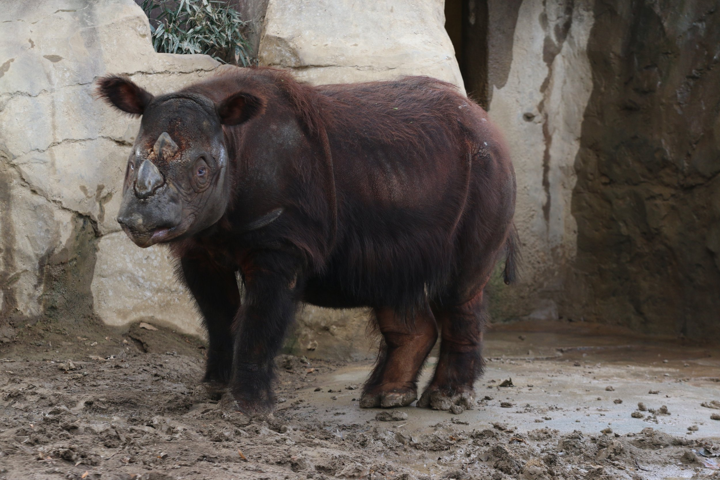 sumatran rhinoceros current statis