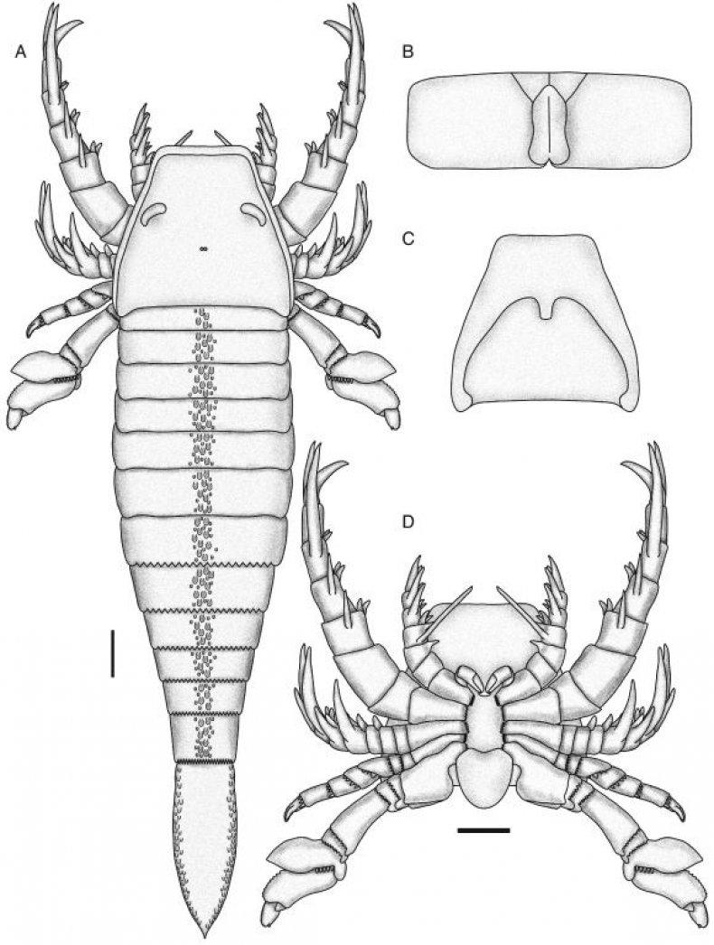 pentecopterus-study-drawing