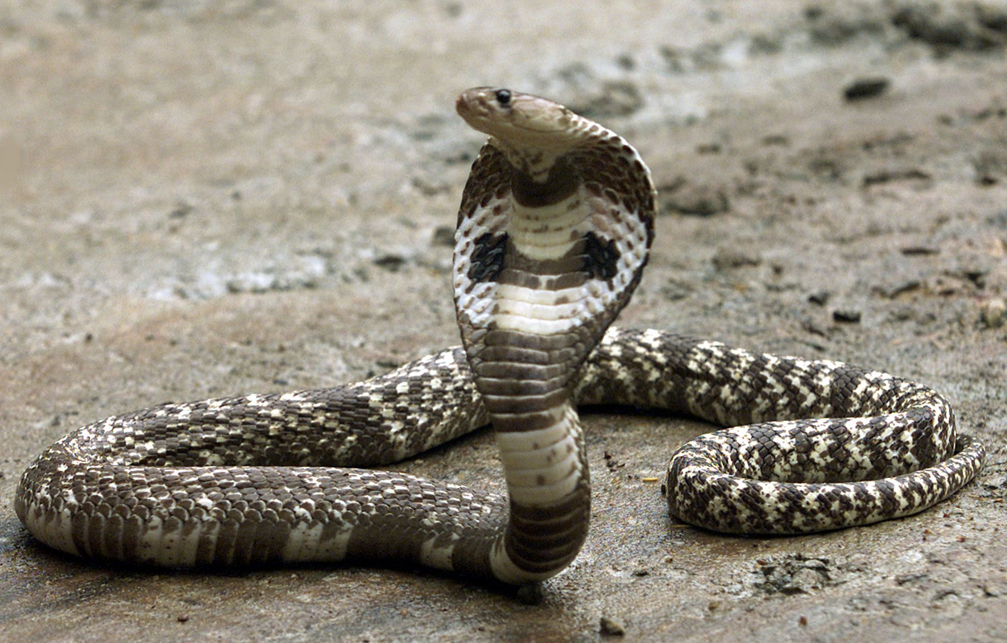 8-Foot King Cobra Found in Orlando After Over a Month on the Slither
