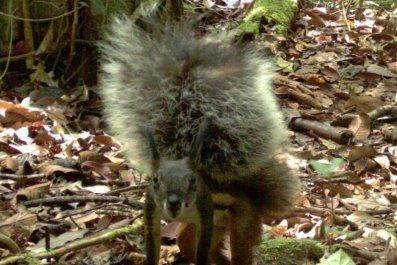 tufted-ground-squirrel