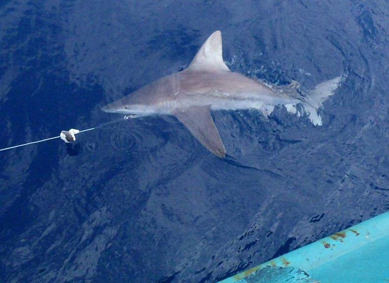 sandbar-shark-tagging