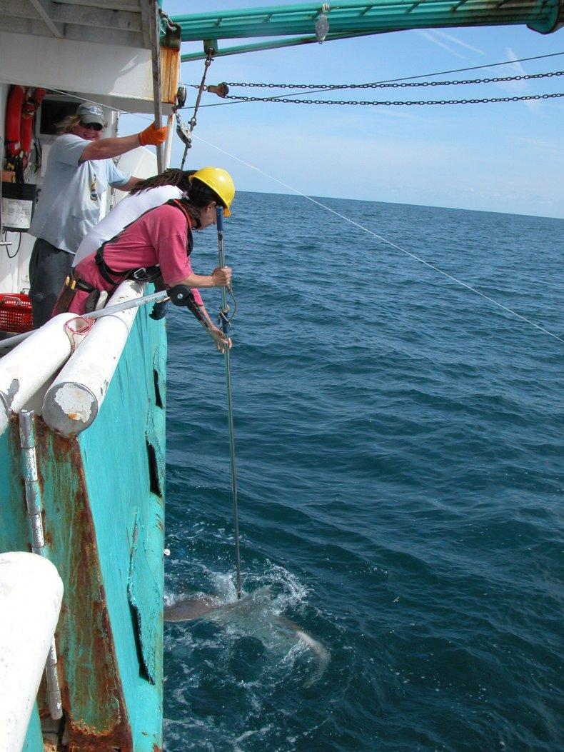 tagging-sharks