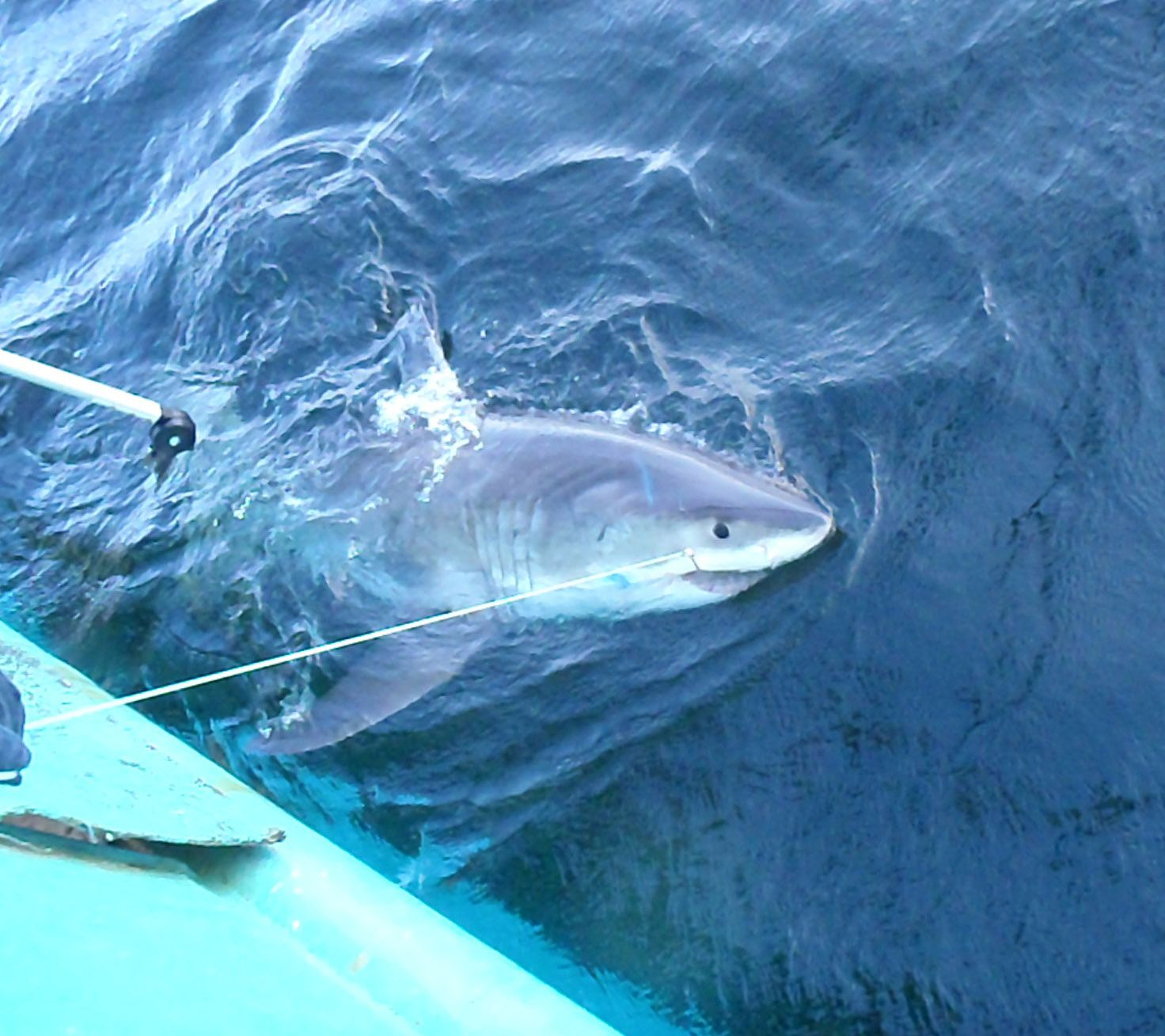 great-white-shark-released