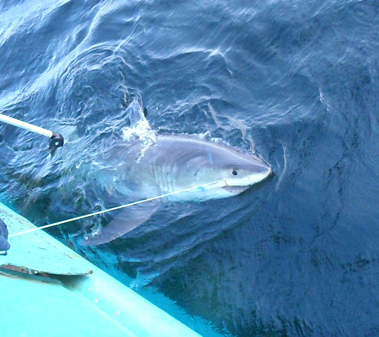 great-white-shark-released