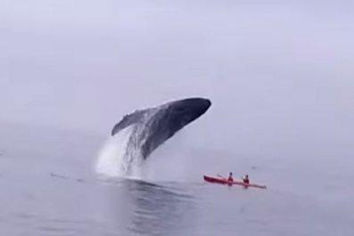 whale-breach