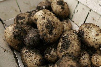 Irish potato campaign