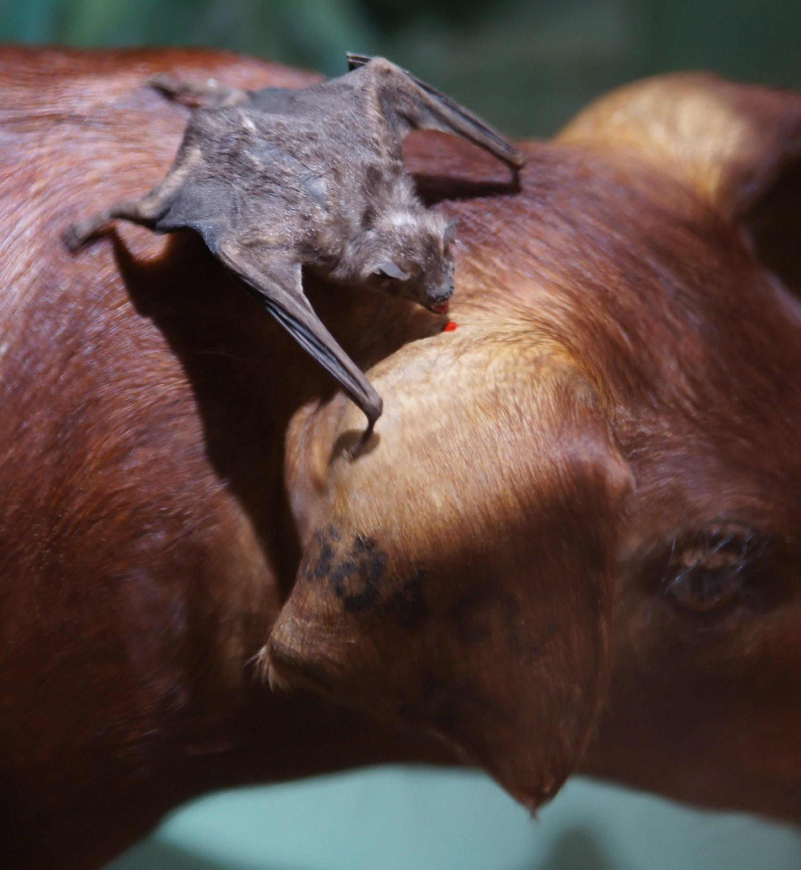 Natural History Of Bats
