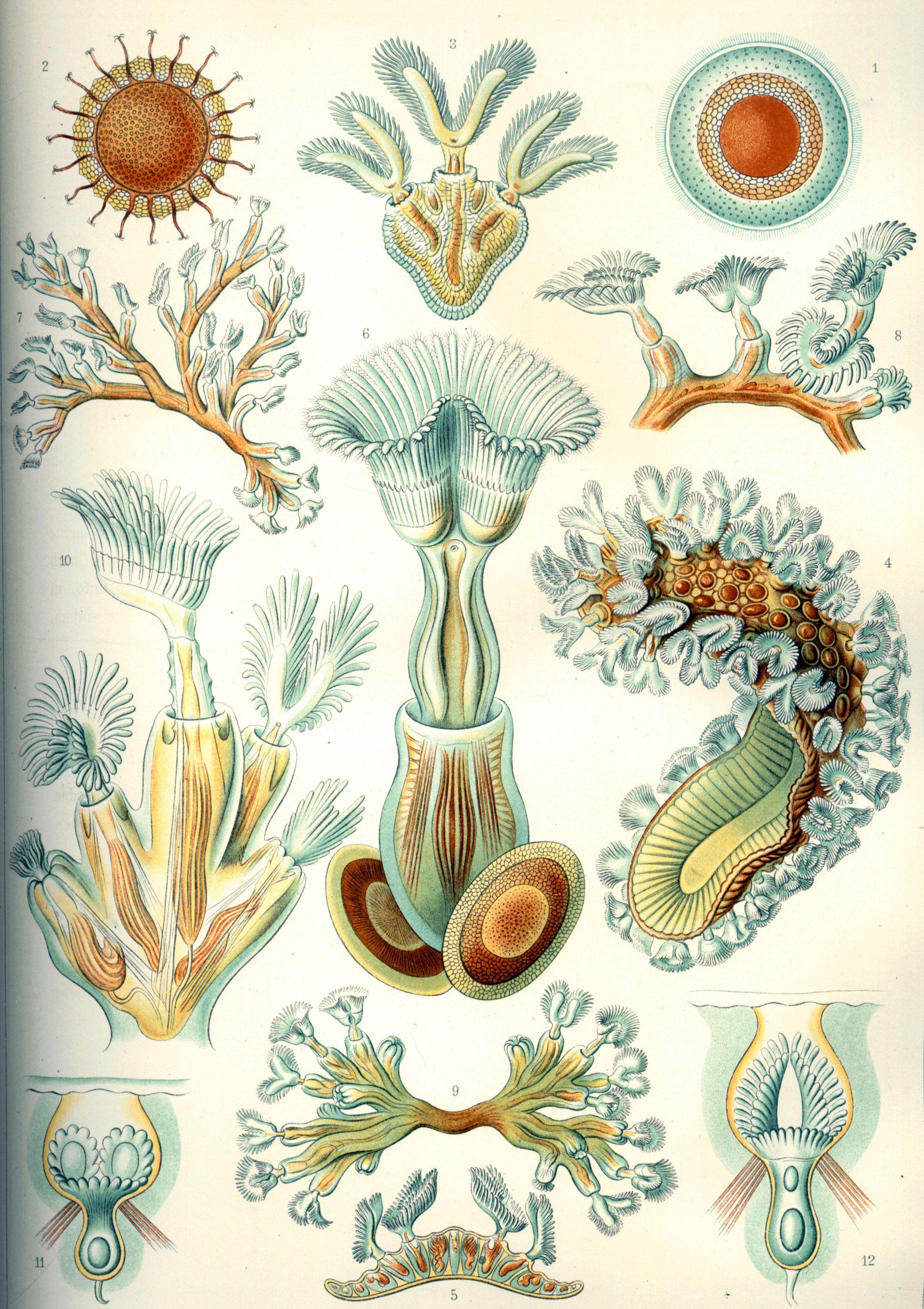 Haeckel_Bryozoa
