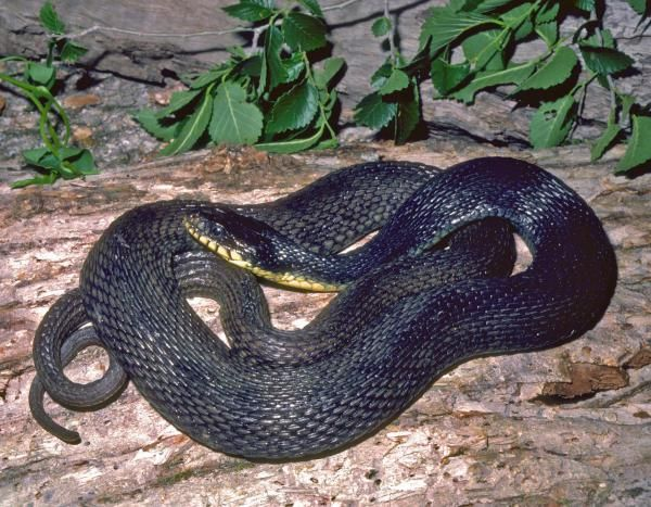 Virgin Snake Gives Birth Two Years In A Row
