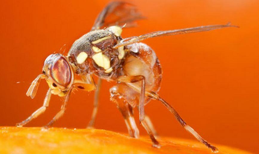 oriental-fruit-fly