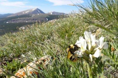 bumblebee-flower