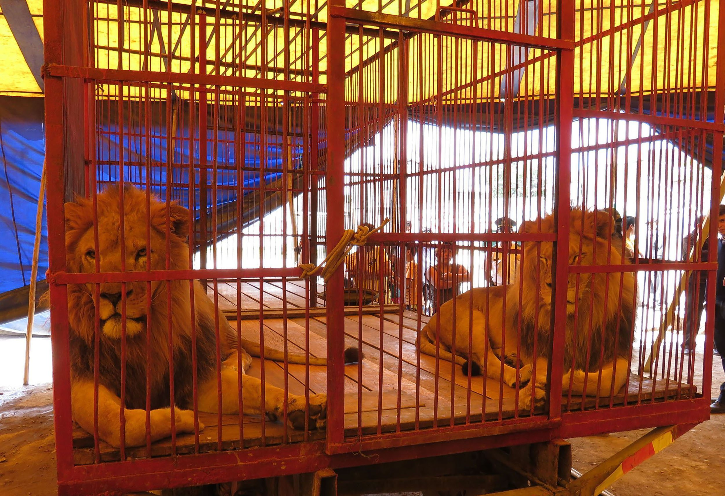 animals in circus Enjoy the circus the animals don't life under the big top is not the wholesome, fun-loving, educational experience the circus industry would like you to think it is.