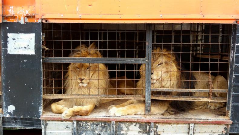 lionsrescued2