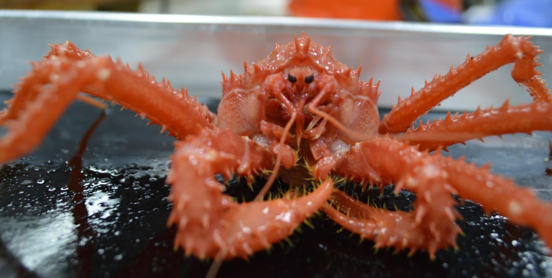Video Nine Pound Crab Breaks Seabird S Wings Before Eating It Alive