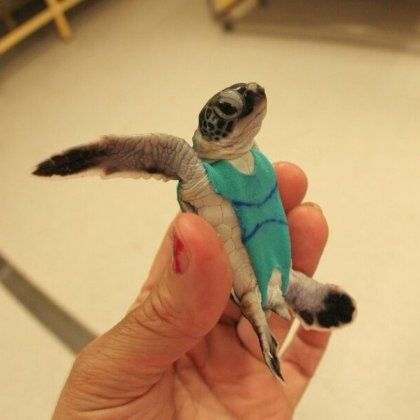 turtle in a swimsuit