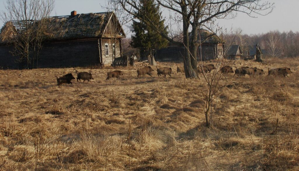 wild-boar-former-village