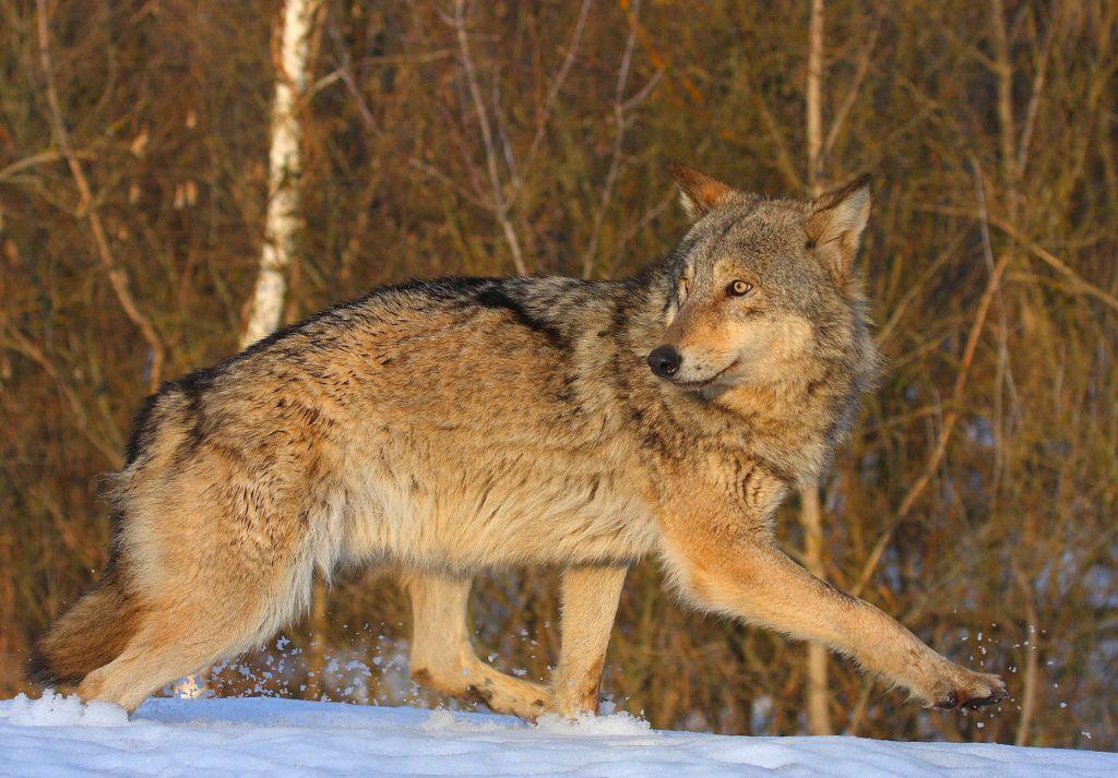chernobyl-wolf