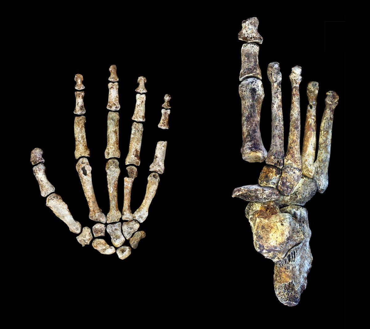 Homo naledi hand and foot