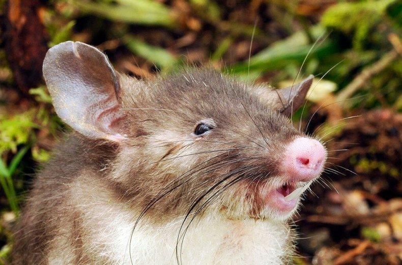 hog-nosed-rat