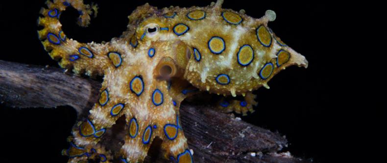 octo-blueringed-710x300