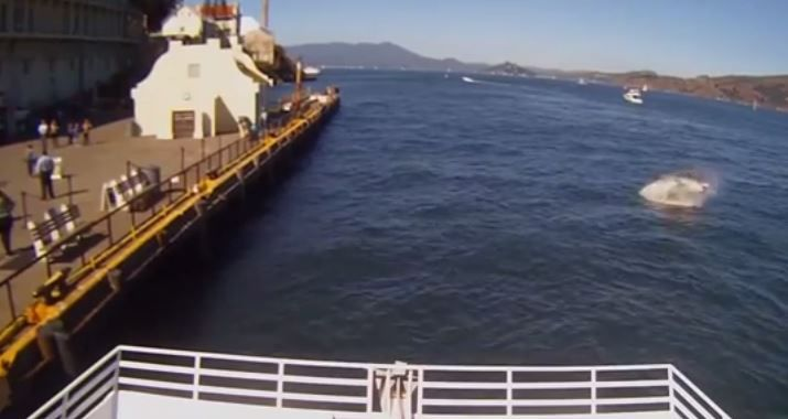 New Video Shows Great White Shark Eat Sea Lion in San Francisco