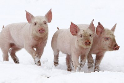 10_22_pigs_01