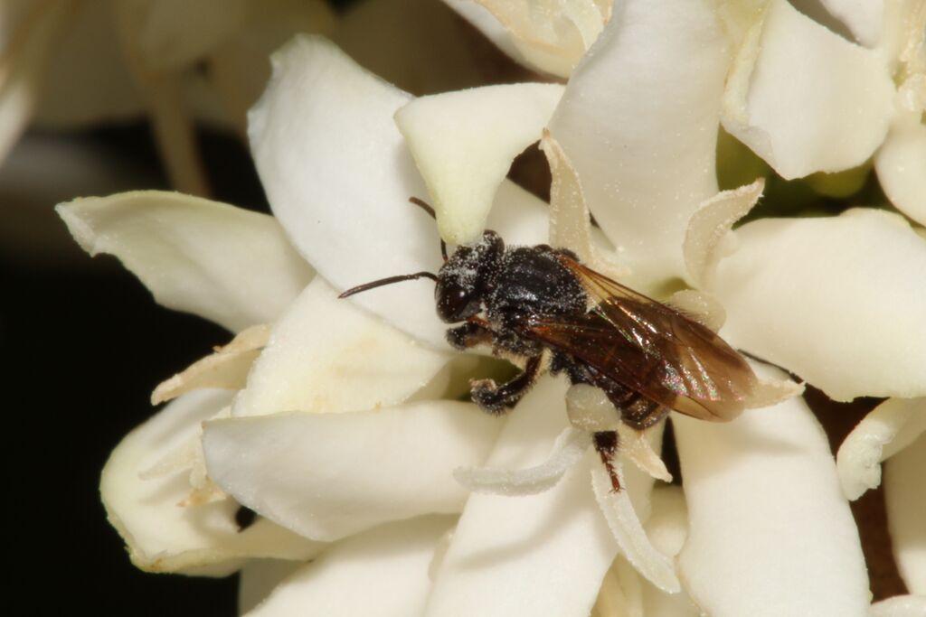 stingless-bee-pollen-flower
