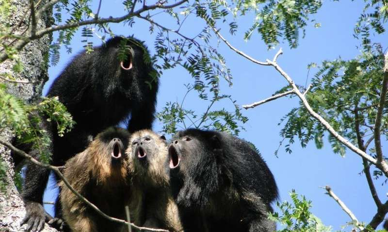 howler-monkey-chorus