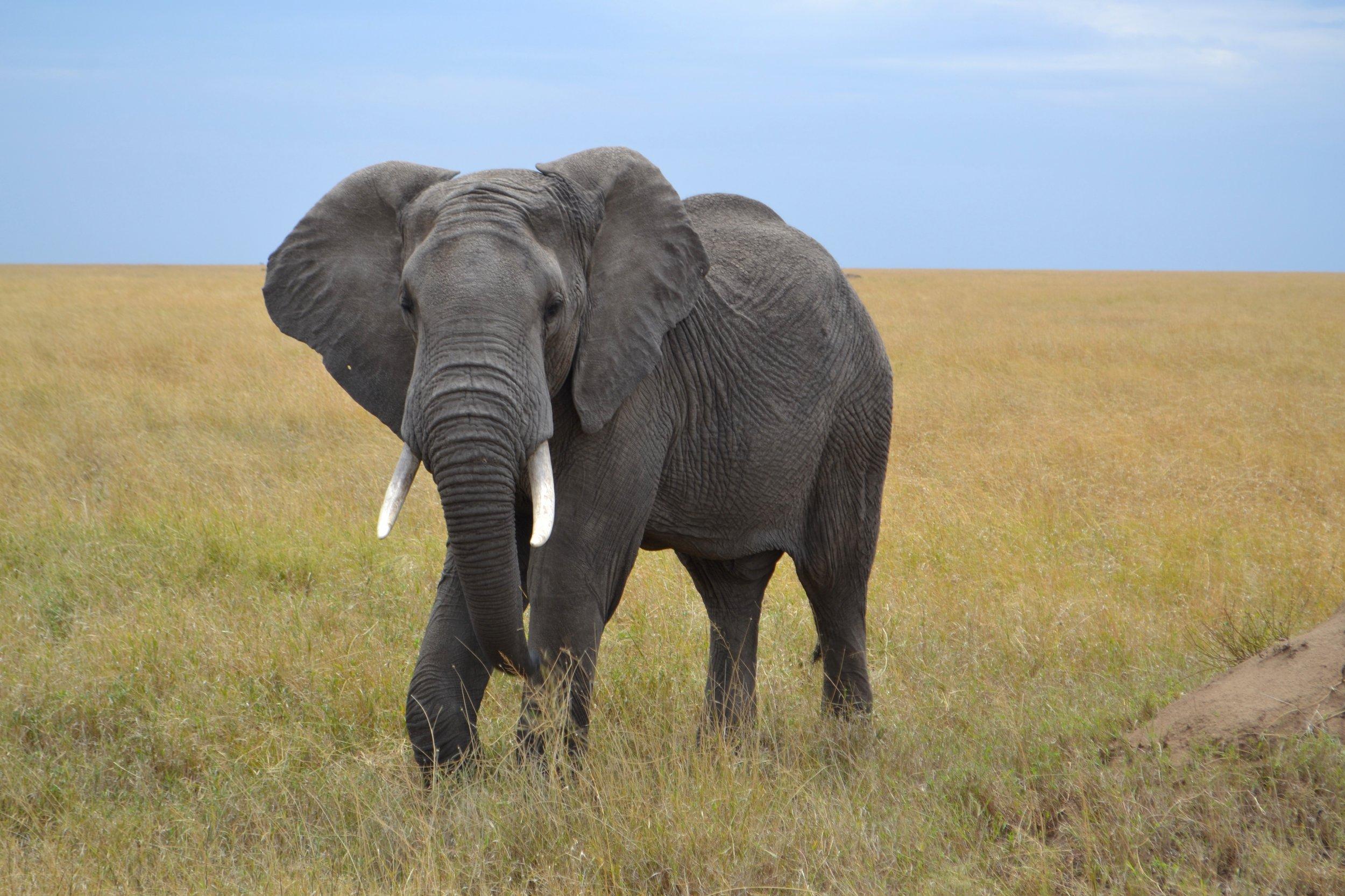 elephant side view
