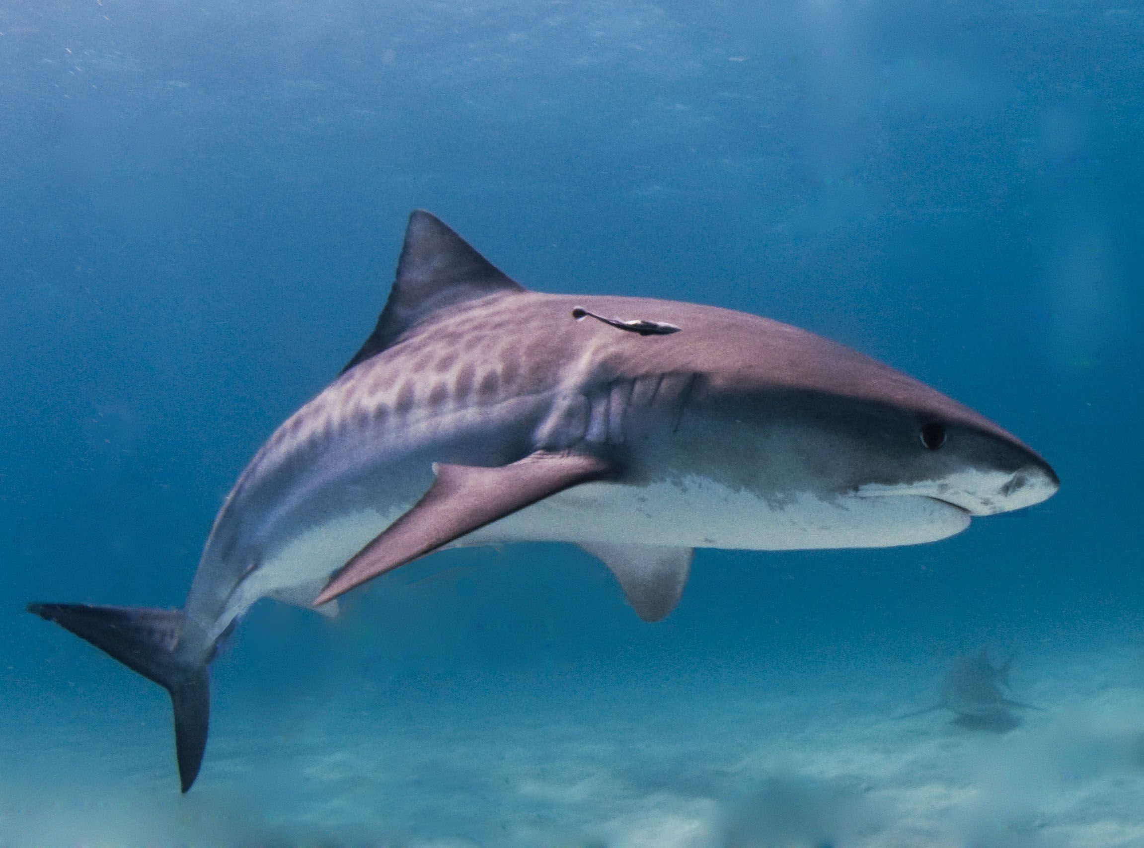 Fish tale hawaiian man rips out sharks eye to survive attack tigershark altavistaventures Image collections
