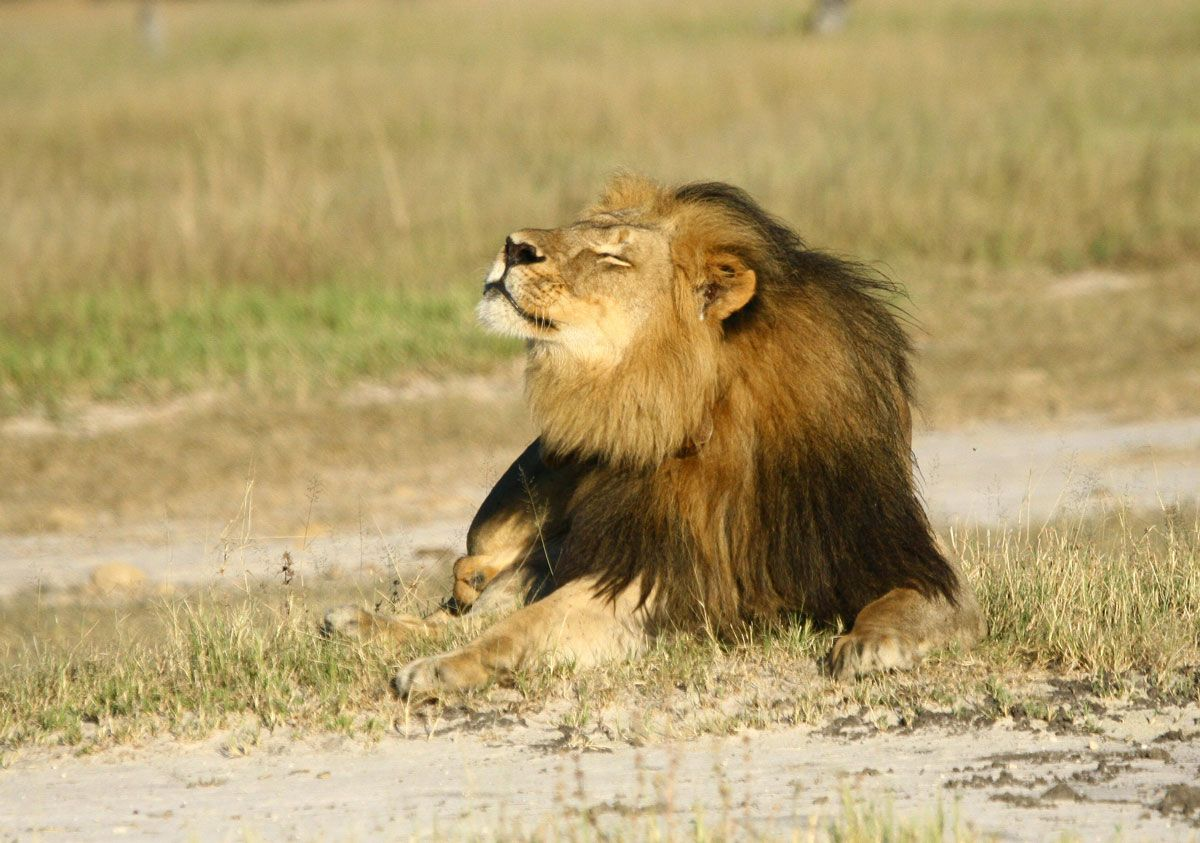 lion populations likely to decline by half in 20 years in. Black Bedroom Furniture Sets. Home Design Ideas