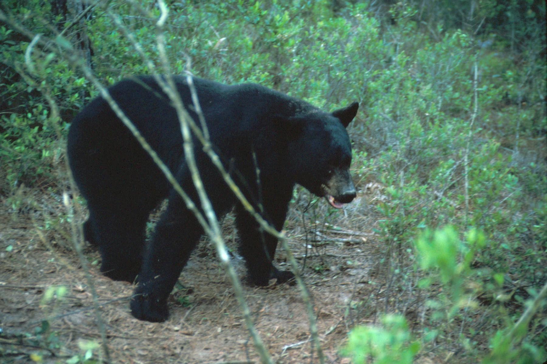 florida bear