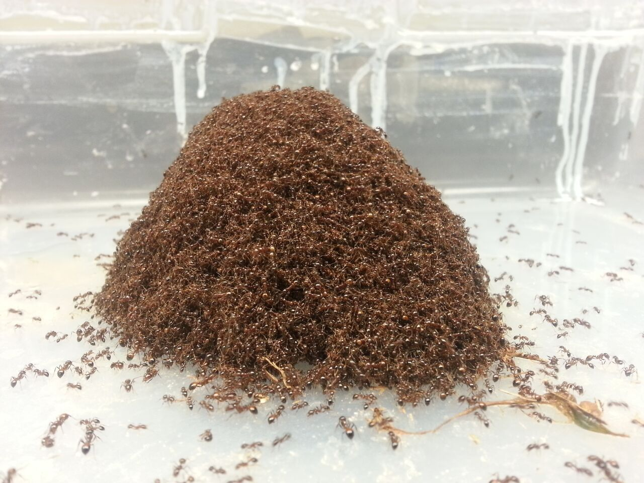 Video: Ants Act Like Both Liquids and Solids