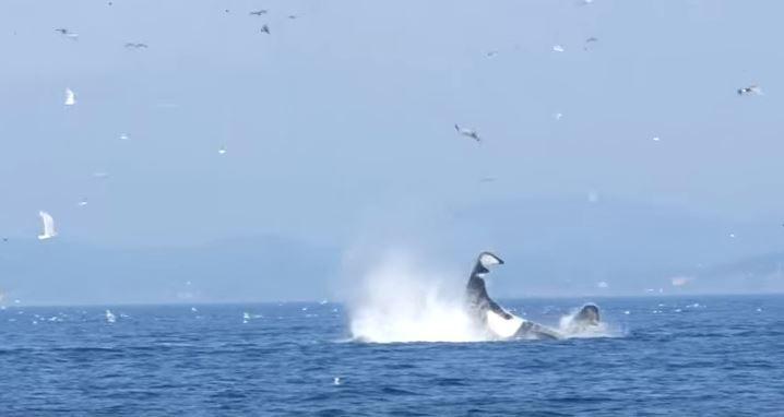 orca-seal