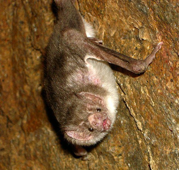 Desmodus-rotundus-vampire-bat